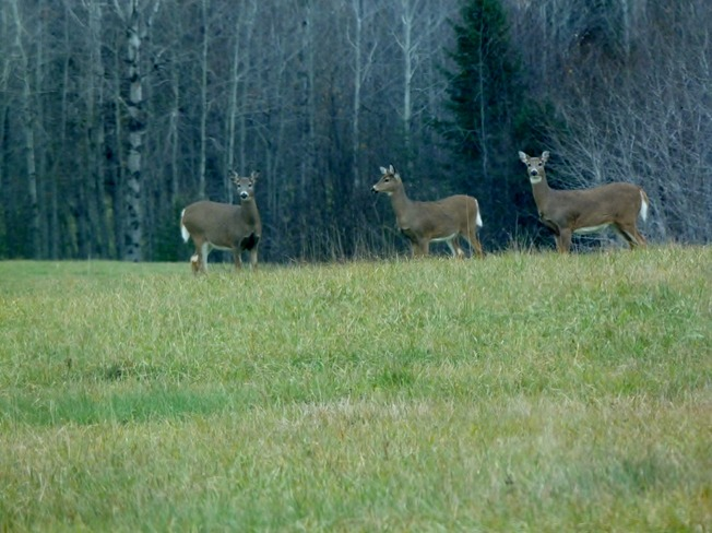 Curious deer herd Oxdrift, Ontario Canada