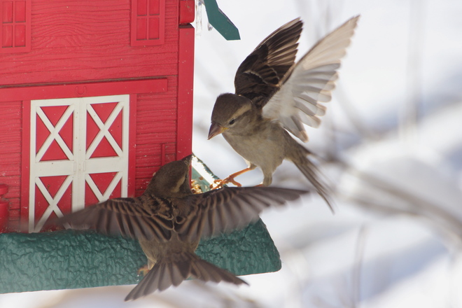Sparring Sparrows Dalmeny, Saskatchewan Canada