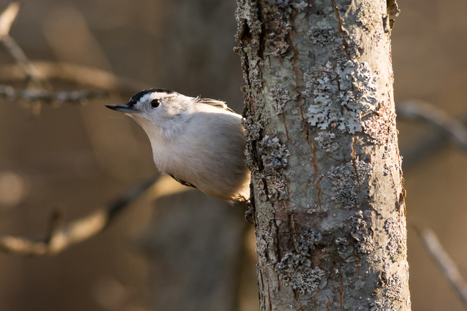 White-Breasted Nuthatch at Lemoines Point Kingston, Ontario Canada