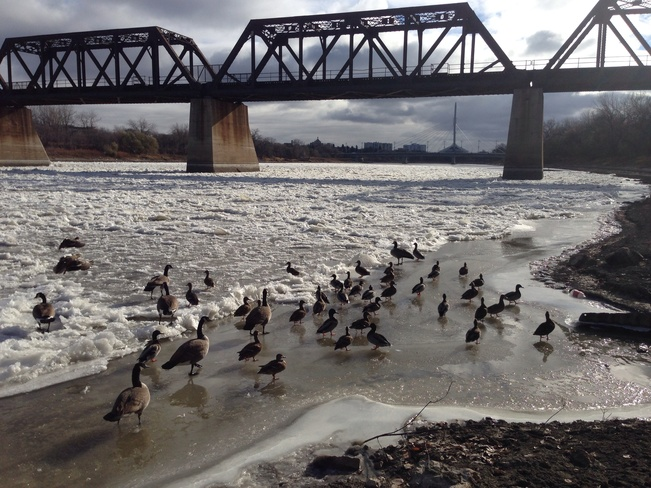 Frozen Ducks and Geese Winnipeg, Manitoba Canada