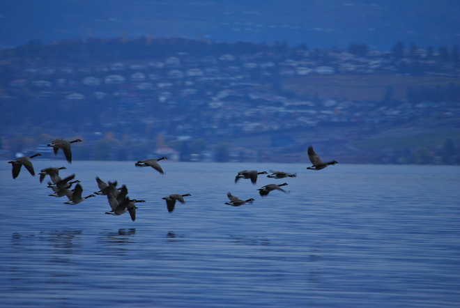 Geese leaving the bay South Kelowna, British Columbia Canada
