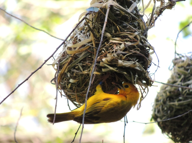 Taveta Golden Weaver Orlando, Florida United States