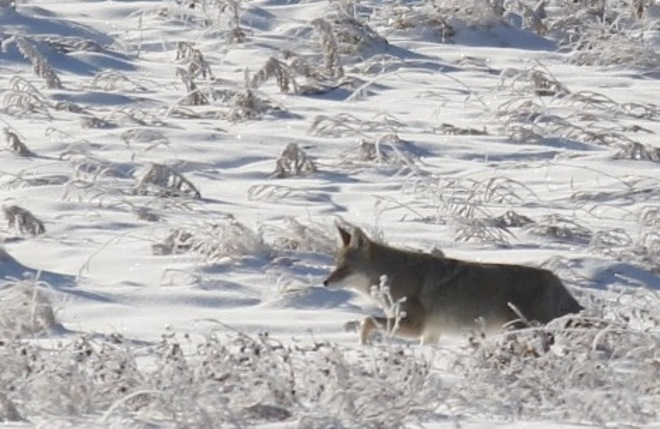 coyote running through the frost Calgary, Alberta Canada