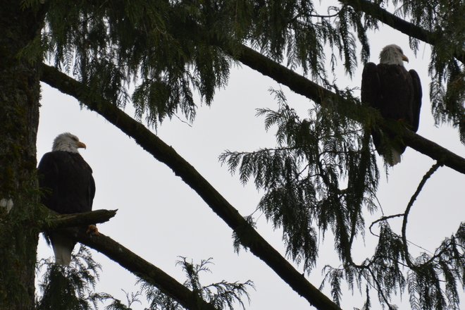 Bald Eagles Mission, British Columbia Canada