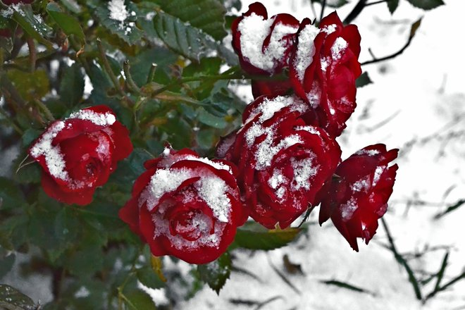 Red Mini Roses in the Snow Goderich, Ontario Canada