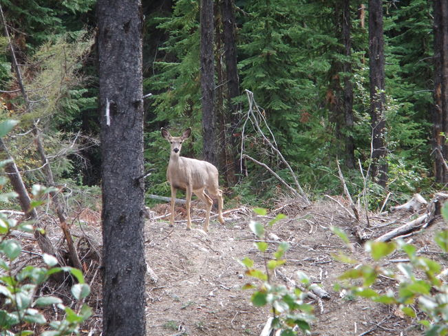 doe in forest Fauquier, British Columbia Canada