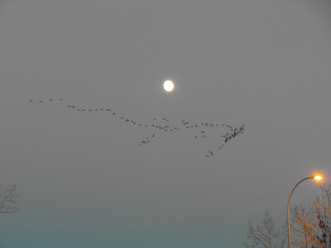 Moon and our canadian geese Calgary, Alberta Canada