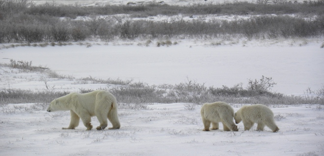 Mom and cubs Churchill, Manitoba Canada