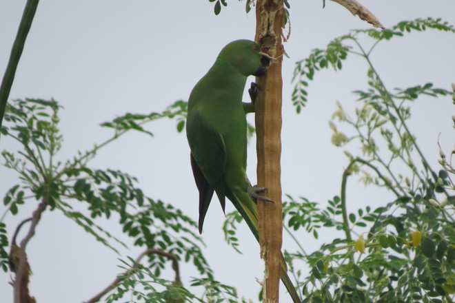 Roseringed PARAKEET on MORINGA Pod Coimbatore North, Tamil Nadu India