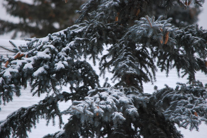 Snow on a Pine Brandon, Manitoba Canada