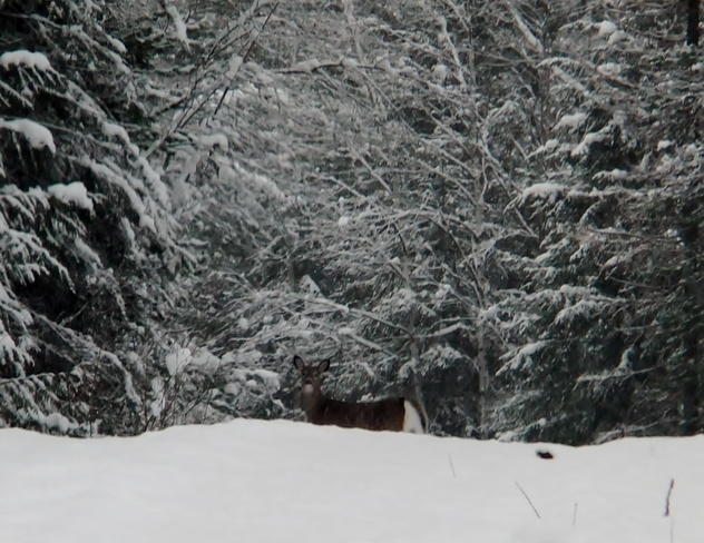 Doe in the snow Fauquier, British Columbia Canada