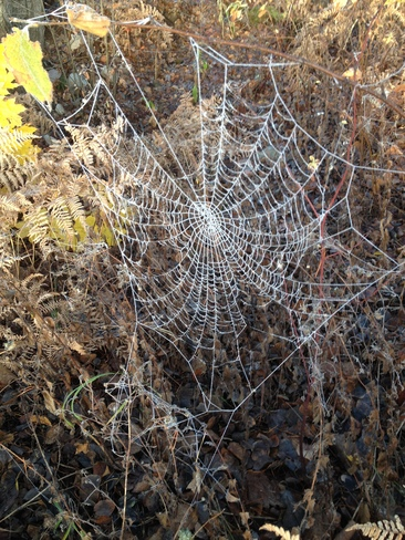 Morning frost on spider web Terrace, British Columbia Canada