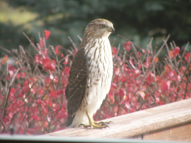 Visiting Hawk Harrietsville, Ontario Canada