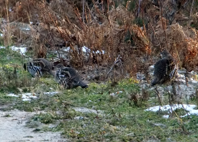 A few grouse Fauquier, British Columbia Canada