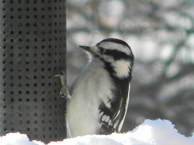 First time viewing a Hairy Woodpecker in my garden :-)