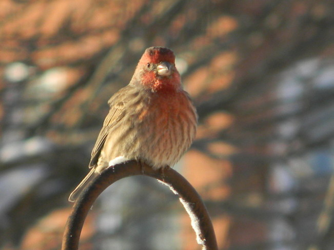 House Finch enjoying the sun on a very cold morning.