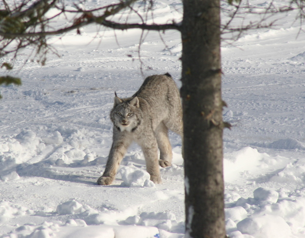 lynx beautiful and massive Timmins, Ontario Canada