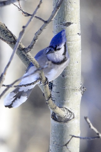 Grey Cup Blue Jay