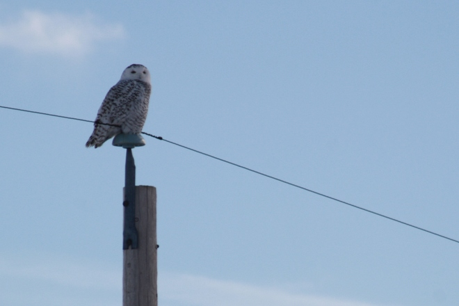Snowy Owl and blue skies Camrose, Alberta Canada