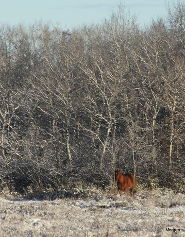 horse in snow Brandon, Manitoba Canada