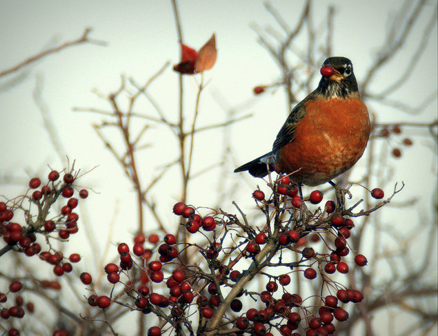 An American Robin Eating Canadian Berries. Delta, British Columbia Canada