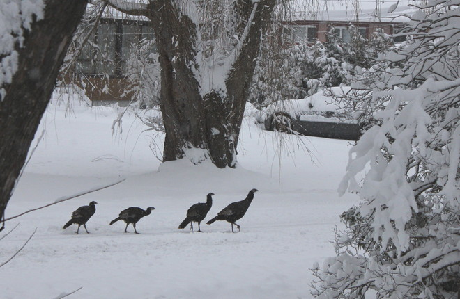 Early Morning Turkey Trot Cumberland, Ontario Canada