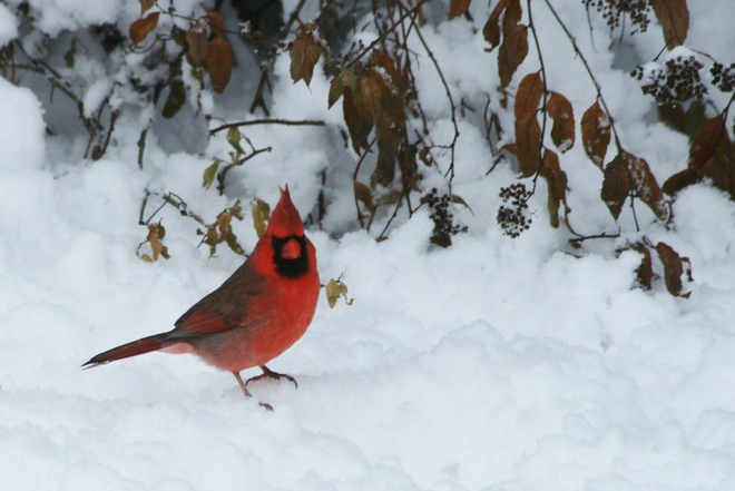 Mr. Red Nepean, Ontario Canada
