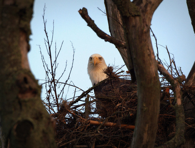 Bodacious Bald Eagle's Nest Delta, British Columbia Canada