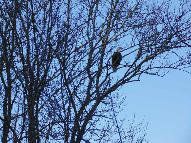 bald eagle perched Quispamsis, New Brunswick Canada