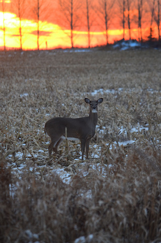 Sunset and deer