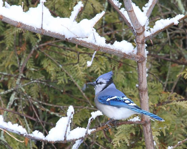Blue Jay in the woods Brighton, Ontario Canada