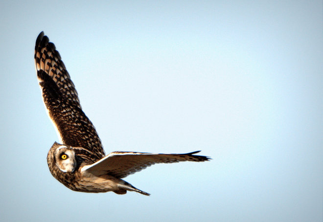 Short-eared Owl - Eye Off The Prize Delta, British Columbia Canada