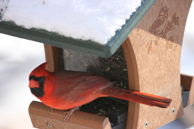 Cardinal at Birdfeeder Woodbridge, Ontario Canada