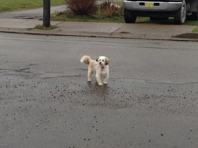 Little white dog enjoying Rain Sydney, Nova Scotia Canada