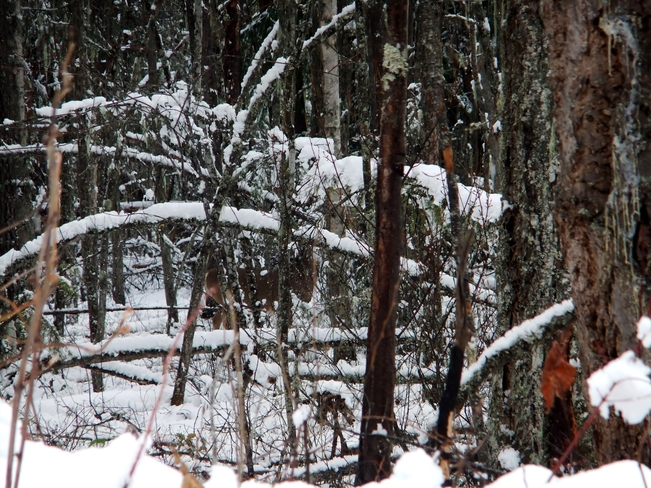 deer hiding in snowy forest Fauquier, British Columbia Canada