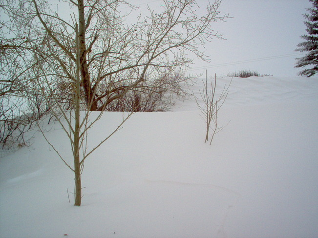 Hedges drifted over after the storm Beiseker, Alberta Canada