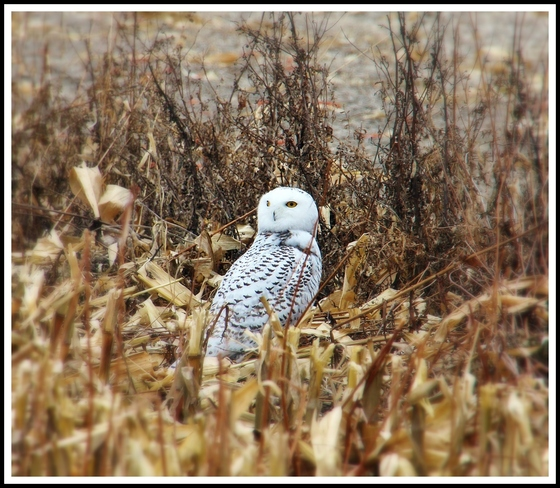 Snowy Owl sighting in Sarnia December 04 Sarnia, Ontario Canada