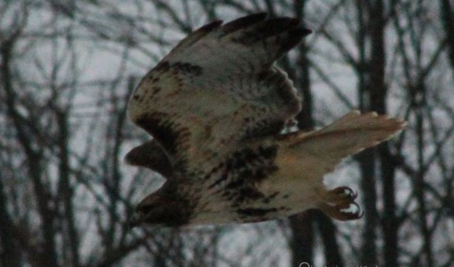 Look at the Talon's on this bird Aylmer, Ontario Canada