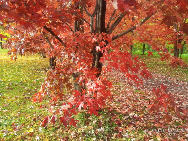 Pinkish-red Tree Montréal, Quebec Canada