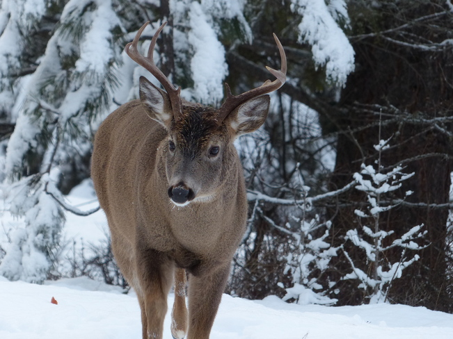 Beautiful buck Grand Forks, British Columbia Canada