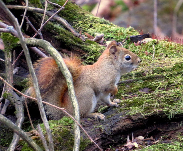 Red Squirrel Hastings, Ontario Canada