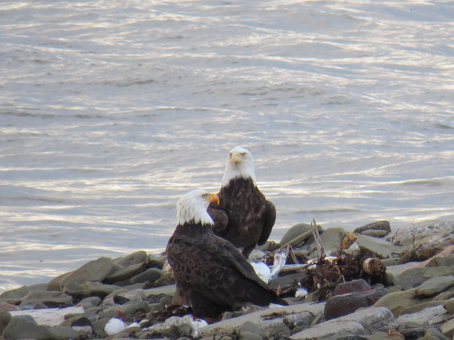 Two beautiful eagles Sydney Mines, Nova Scotia Canada