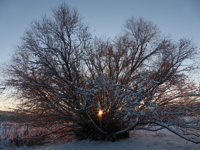OCTOPUS TREE AT SUNSET Cranbrook, British Columbia Canada