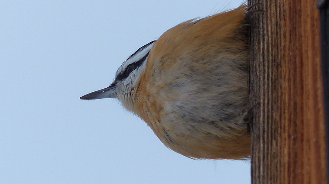 Nuthatch Grand Forks, British Columbia Canada