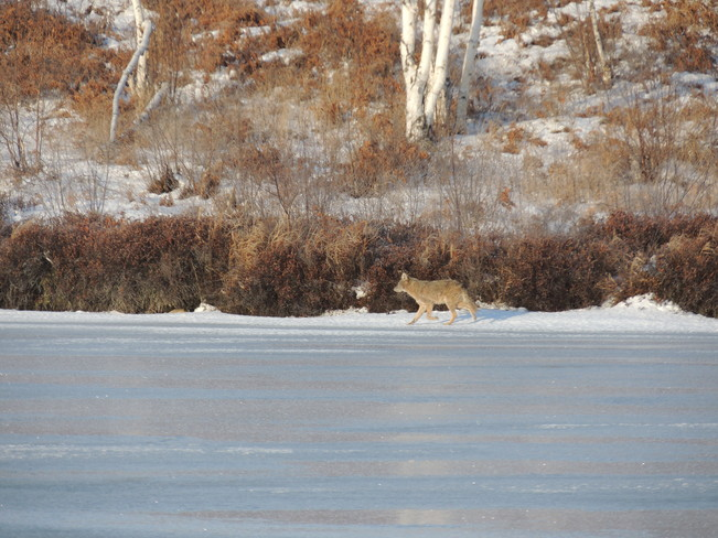 Coyote on kalmo beach Blezard Valley, Ontario Canada