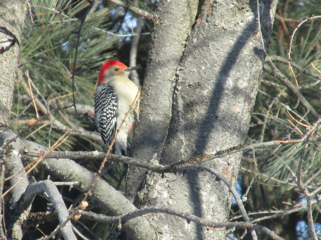 Red-bellied woodpecker Timmins, Ontario Canada