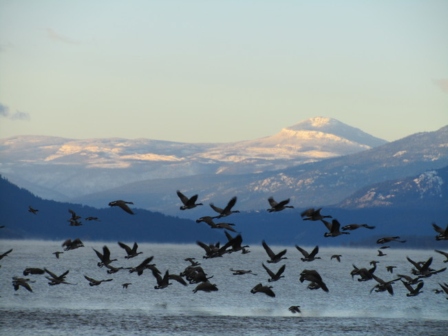 Geese taking off of ice Vernon, British Columbia Canada