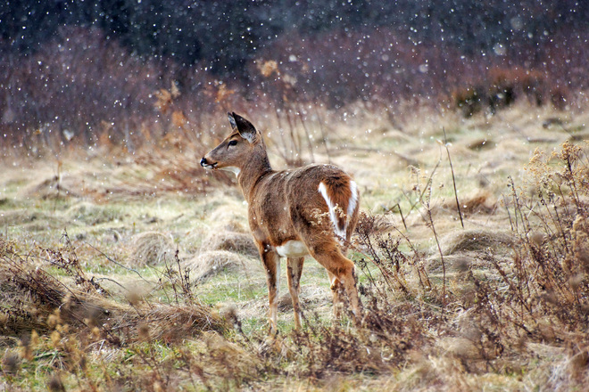 falling snow and a morning deer Kingston, Ontario Canada