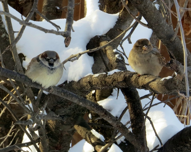 Sparrows Winnipeg, Manitoba Canada