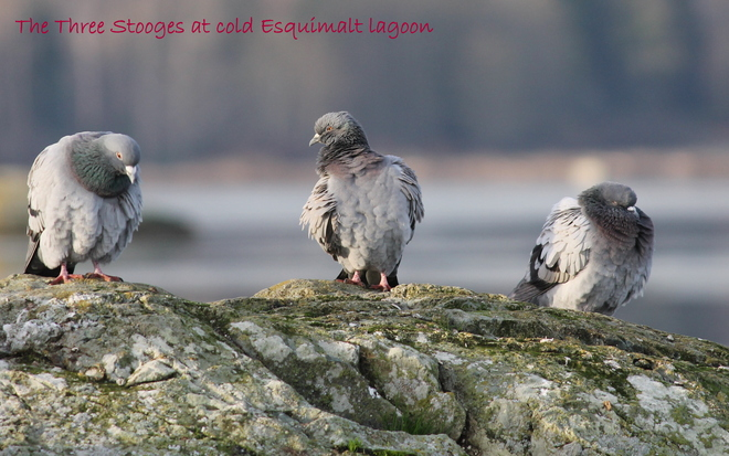 The Three Stooges at cold Esquimalt lagoon Colwood, British Columbia Canada